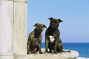 American Pit Bull Terrier (Canis familiaris) brindle, adult and puppy  -  Mark Raycroft