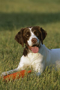 Brittany Spaniel (Canis familiaris) with training bumper  -  Mark Raycroft