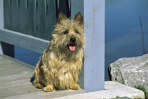 Cairn Terrier (Canis familiaris) on deck - Mark Raycroft