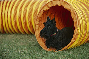 Scottish Terrier (Canis familiaris) in play-tube  -  Mark Raycroft