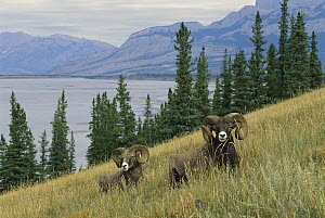 Bighorn Sheep (Ovis canadensis) two large rams in a mountain scene  -  Mark Raycroft