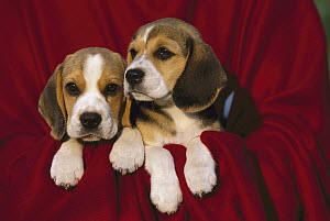 Beagle (Canis familiaris) puppy pair on red blanket  -  Mark Raycroft