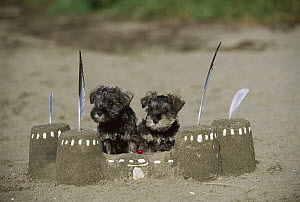 Miniature Schnauzer (Canis familiaris) pair of puppies with sand castle - Mark Raycroft