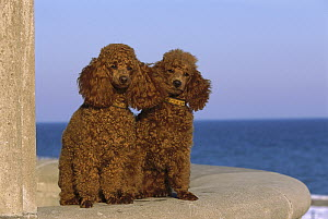 Miniature Poodle (Canis familiaris) portrait of pair sitting - Mark Raycroft