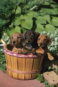 Miniature Wire-haired Dachshund (Canis familiaris) three puppies in a basket - Mark Raycroft