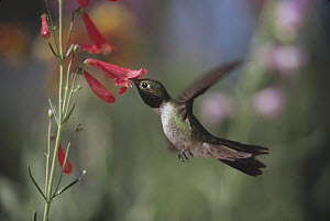 Broad-tailed Hummingbird (Selasphorus platycercus) feeding on the nectar of a Scarlet Bugler flower, New Mexico  -  Tim Fitzharris