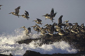 Brown Pelican (Pelecanus occidentalis) flock taking flight from a rocky shoreline, Isla Isabel, Nayarit, Mexico - Tim Fitzharris