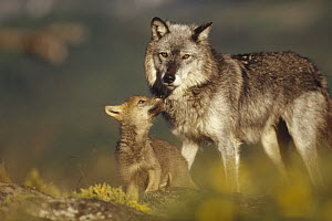 Timber Wolf (Canis lupus) mother with affectionate pup, Montana - Tim Fitzharris