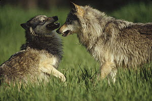 Timber Wolf (Canis lupus) pair arguing, Montana - Tim Fitzharris
