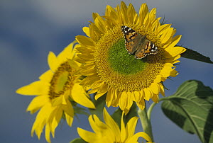 American Painted Lady (Cynthia virginiensis) butterfly on sunflower, New Mexico - Tim Fitzharris