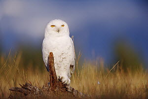 Snowy Owl (Nyctea scandiaca) adult perching on a low stump in a field of green grass, British Columbia, Canada  -  Tim Fitzharris
