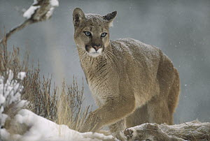 Mountain Lion (Puma concolor) in snowfall, North America  -  Tim Fitzharris