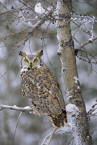Great Horned Owl (Bubo virginianus), pale form, perching in a snow-covered tree, British Columbia, Canada  -  Tim Fitzharris