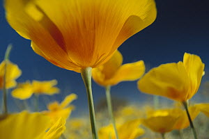 Mexican Golden Poppy (Eschscholzia glyptosperma), New Mexico - Tim Fitzharris