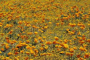 California Poppy (Eschscholzia californica) and Golden Yarrow (Eriophyllum lanatum) flowers, California - Tim Fitzharris