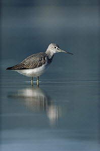 Lesser Yellowlegs (Tringa flavipes) adult standing in placid water, North America  -  Tim Fitzharris