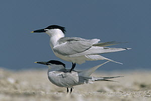 Sandwich Tern (Thalasseus sandvicensis) couple courting, North America  -  Tim Fitzharris