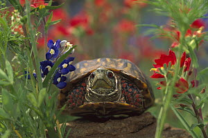 Western Box Turtle (Terrapene ornata) among Lupine (Lupinus sp) and Paintbrush (Castilleja sp), North America - Tim Fitzharris