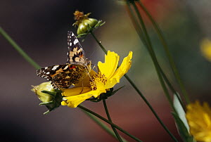 American Painted Lady (Cynthia virginiensis) butterfly feeding on Tickseed (Coreopsis sp) flower, New Mexico - Tim Fitzharris