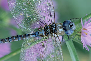Southern Hawker Dragonfly (Aeshna cyanea) close-up, on stem, New Mexico  -  Tim Fitzharris