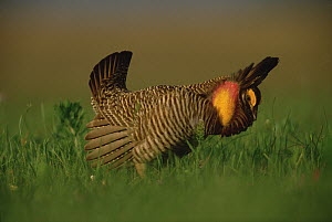 Greater Prairie Chicken (Tympanuchus cupido) male in courtship display, Eagle Lake, Texas  -  Tim Fitzharris