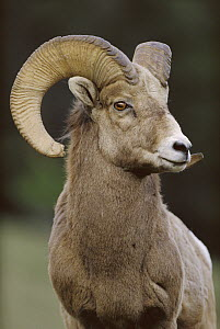 Bighorn Sheep (Ovis canadensis) male, Banff National Park, Alberta, Canada - Tim Fitzharris