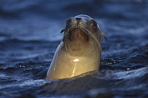 California Sea Lion (Zalophus californianus) looking around on surface, Baja California, Mexico - Tim Fitzharris
