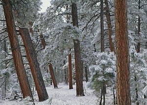 Ponderosa Pine (Pinus ponderosa) trees with snow, Grand Canyon National Park, Arizona  -  Tim Fitzharris