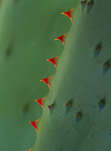 Aloe (Aloe sp) spines - Tim Fitzharris