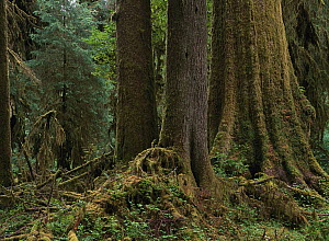 Sitka Spruce (Picea sitchensis) covered with moss in temperate rainforest, Hoh Rainforest, Olympic National Park, Washington - Tim Fitzharris