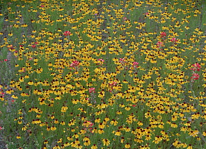 Paintbrush (Castilleja sp) and coreopsis meadow, Hill Country, Texas - Tim Fitzharris