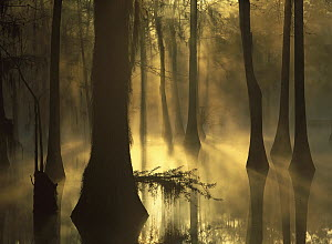Bald Cypress (Taxodium distichum) grove in freshwater swamp at dawn, Lake Fausse Pointe, Louisiana  -  Tim Fitzharris
