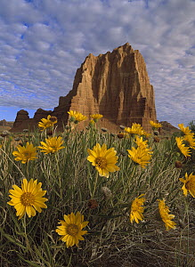 Temple of the Sun with Sunflowers in the foreground, Capitol Reef National Park, Utah  -  Tim Fitzharris