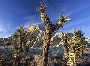 Joshua Tree (Yucca brevifolia) cluster in Red Rock Canyon State Park, California  -  Tim Fitzharris