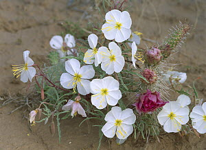 Evening Primrose (Oenothera erythrosepala) with Grizzly Bear Cactus (Opuntia erinacea), North America - Tim Fitzharris
