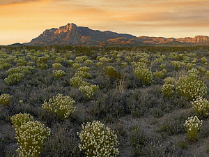 Pepperweed (Lepidium sp) meadow beneath El Capitan, Guadalupe Mountains National Park, Texas  -  Tim Fitzharris