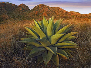 Agave (Agave sp) plants and Chisos Mountains seen from Chisos Basin, Big Bend National Park, Chihuahuan Desert, Texas  -  Tim Fitzharris