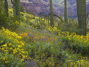 Saguaro (Carnegiea gigantea) amid flowering Lupine, California Brittlebush (Encelia californica) and Desert Golden Poppies (Eschscholtzia glyptosperma), Organ Pipe Cactus National Monument, Arizona - Tim Fitzharris