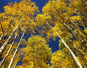 Quaking Aspen (Populus tremuloides) grove in fall colors, Maroon Bells, Snowmass Wilderness, Colorado  -  Tim Fitzharris