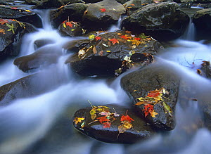 Autumn leaves on wet boulders in stream, Great Smoky Mountains National Park, North Carolina - Tim Fitzharris
