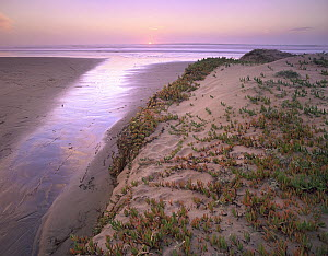 Ice Plant (Carpobrotus edulis) or Hottentot Fig growing in beach sand, native to South Africa and introduced worldwide, Morro Strand State Beach, California  -  Tim Fitzharris