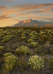Pepperweed (Lepidium sp) in bloom with El Capitan in distance, Guadalupe Mountains National Park, Texas  -  Tim Fitzharris