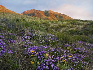 Vervain (Verbena officinalis) at Franklin Mountains State Park, Chihuahuan Desert, Texas  -  Tim Fitzharris