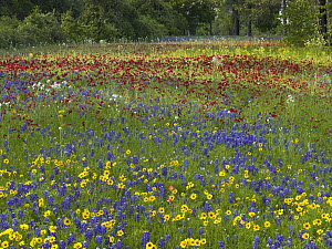 Annual Coreopsis (Coreopsis tinctoria) Texas Bluebonnet (Lupinus subcarnosus) and Drummond's Phlox (Phlox drummondii), Fort Parker State Park, Texas - Tim Fitzharris