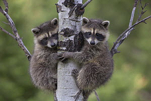 Raccoon (Procyon Lotor) two babies climbing tree, North America - Tim Fitzharris