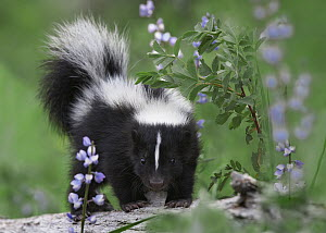 Striped Skunk (Mephitis mephitis) kit, North America - Tim Fitzharris
