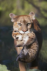 Mountain Lion (Puma concolor) mother carrying cub in her mouth, North America  -  Tim Fitzharris