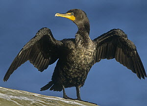 Double-crested Cormorant (Phalacrocorax auritus) drying its wings, North America  -  Tim Fitzharris