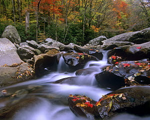 Little Pigeon River cascading among rocks and colorful Maple leaves, Great Smoky Mountains National Park, Tennessee  -  Tim Fitzharris