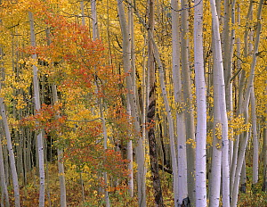 Aspens at Independence Pass, Colorado - Tim Fitzharris